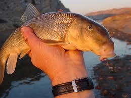 red-sucker-fish.jpg
